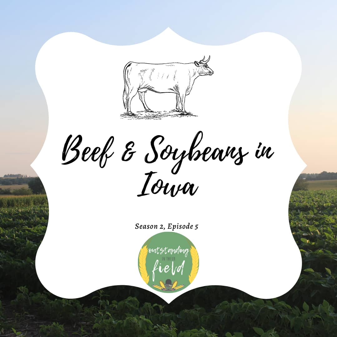 Beef and Soybeans in Iowa